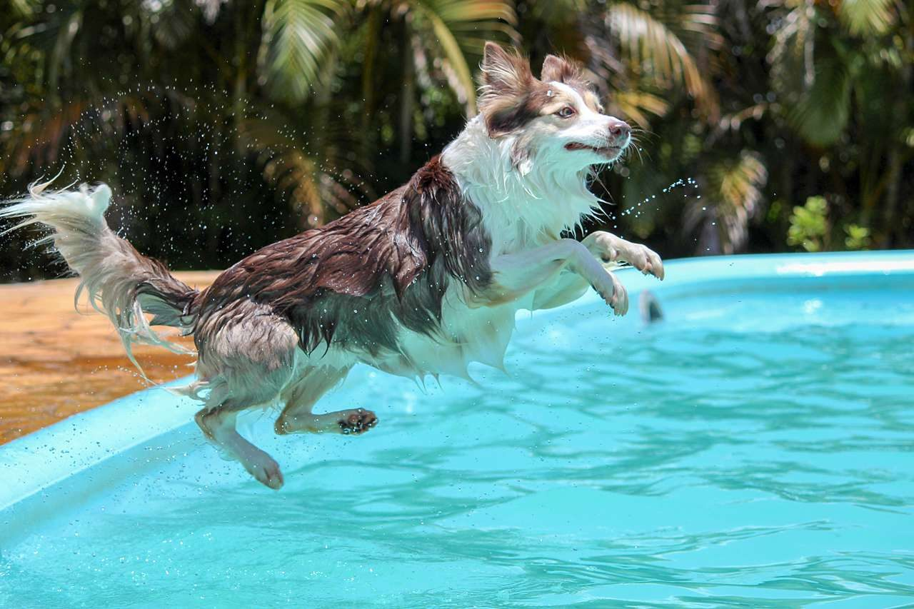 dog jumping in pool