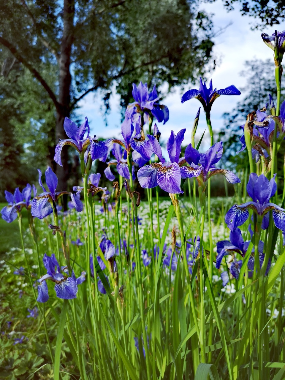 Field of tall purple flowers