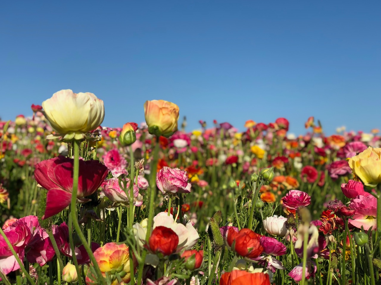 field of multi colored flowers
